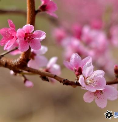 春暖桃花艳,蜜蜂采酿忙。